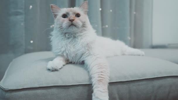 weiße Ragdoll Flammenpunkt verspielt flauschige Katze Blick in die Kamera blauäugig auf Trainer Schlafsofa mit blinkenden Lichtern hinter Nahaufnahme