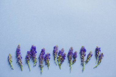 Purple veronica flowers buds on a blue background