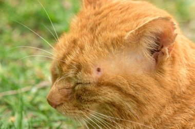 Cute ed cat lies relaxed in the grass and has a tick over the eye on the head