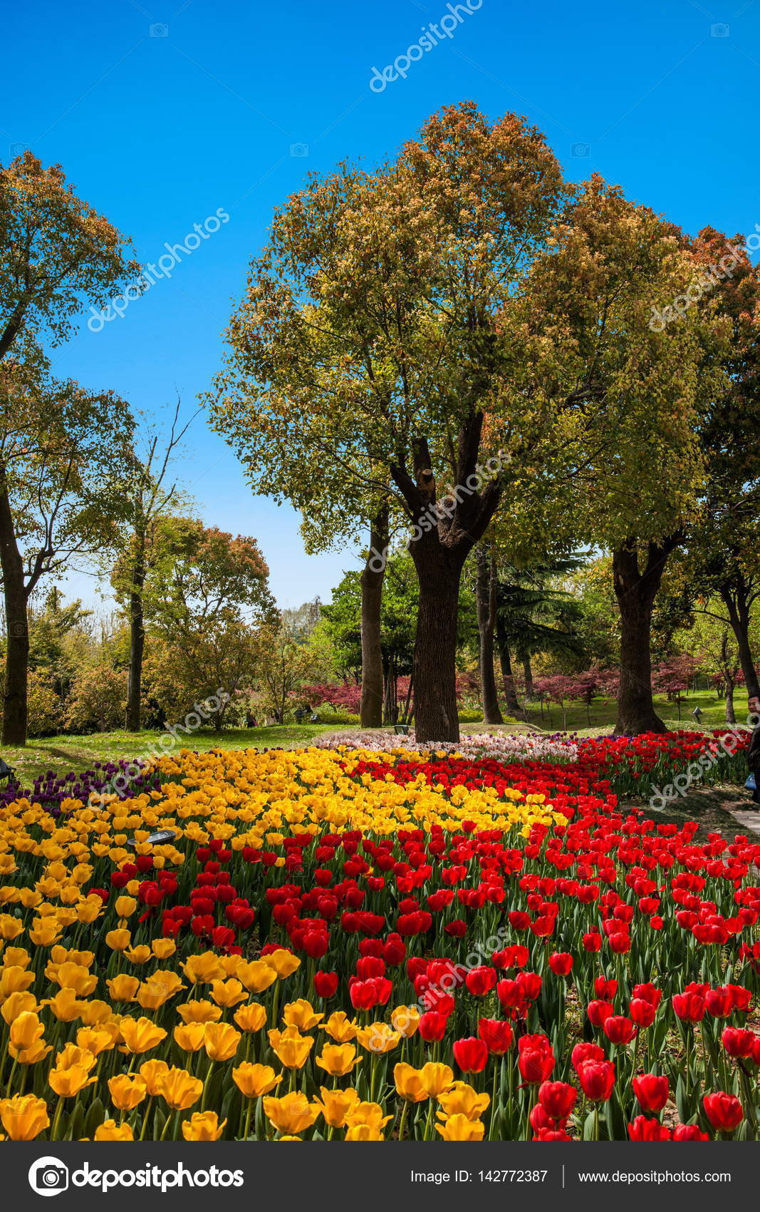 Landscape Design of Garden Tulip Flower on Slender West Lake in ...