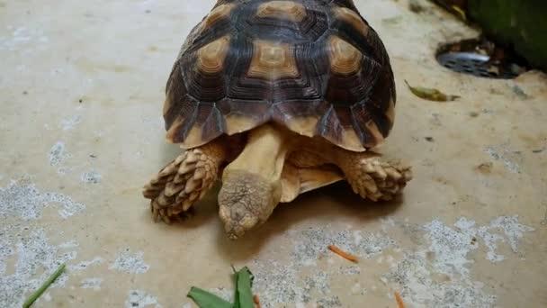 Egy teknős megeszi a reggeli dicsőséget és a répát az állatkertben..
