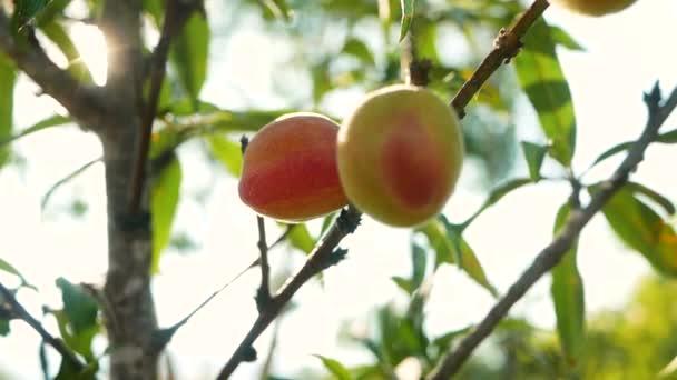 Érett, édes őszibarack gyümölcs nő egy őszibarack fa ág a nap ragyog a gyümölcsösben.