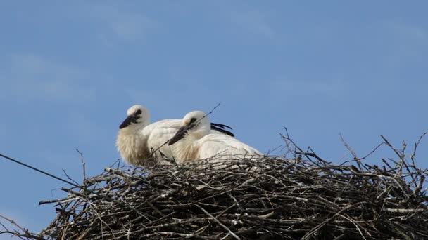 Dvě baby ptáci Čáp bílý v hnízdě na pozadí modré oblohy s mraky