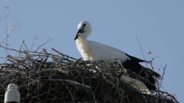Baby bird Čáp bílý v hnízdě s peřím, pohybující se vítr
