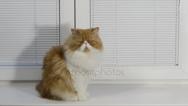 the magnificent red fluffy persian cat sits on a window sill at a