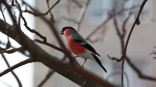The bird a bullfinch sits on mountain ash branch