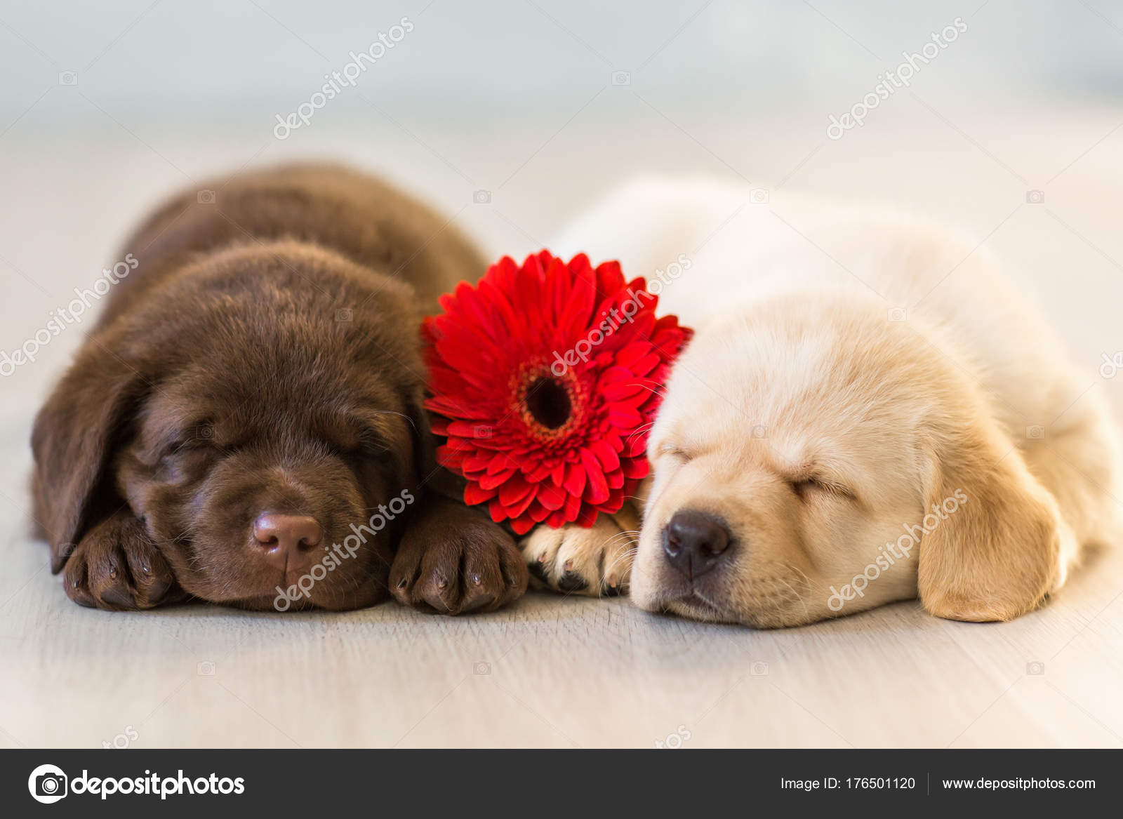 Two Cute Little Puppies Sitting Wooden Background Stock Photo
