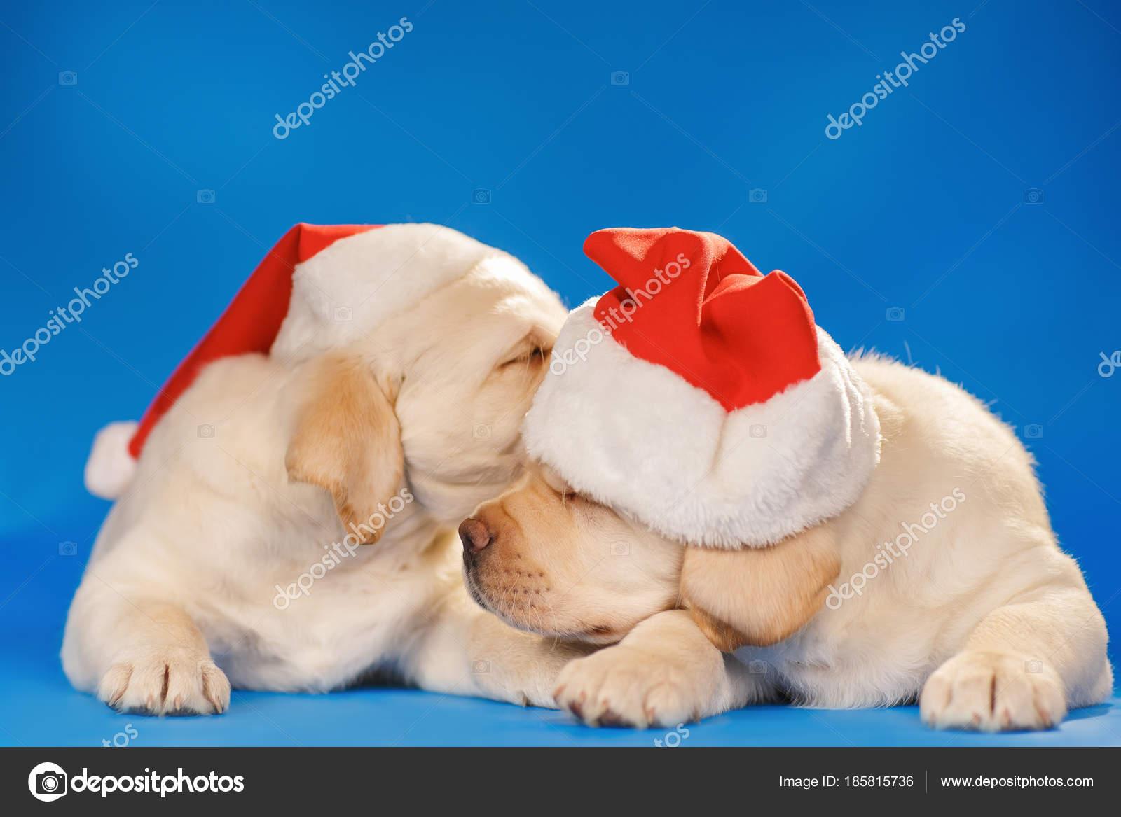 Labrador Puppies In Santa Hat On A Blue Background Stock Photo C Chirtsova 185815736