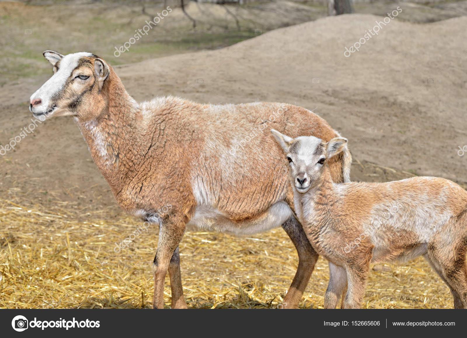 Vadon élő felnőtt női muflon 80c776e7a5