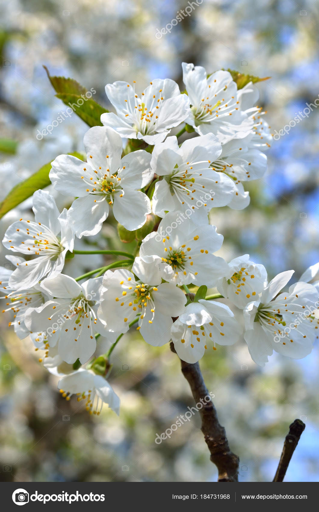 White flowers branches trees spring stock photo oleksandrum79 white flowers branches trees spring stock photo mightylinksfo Images