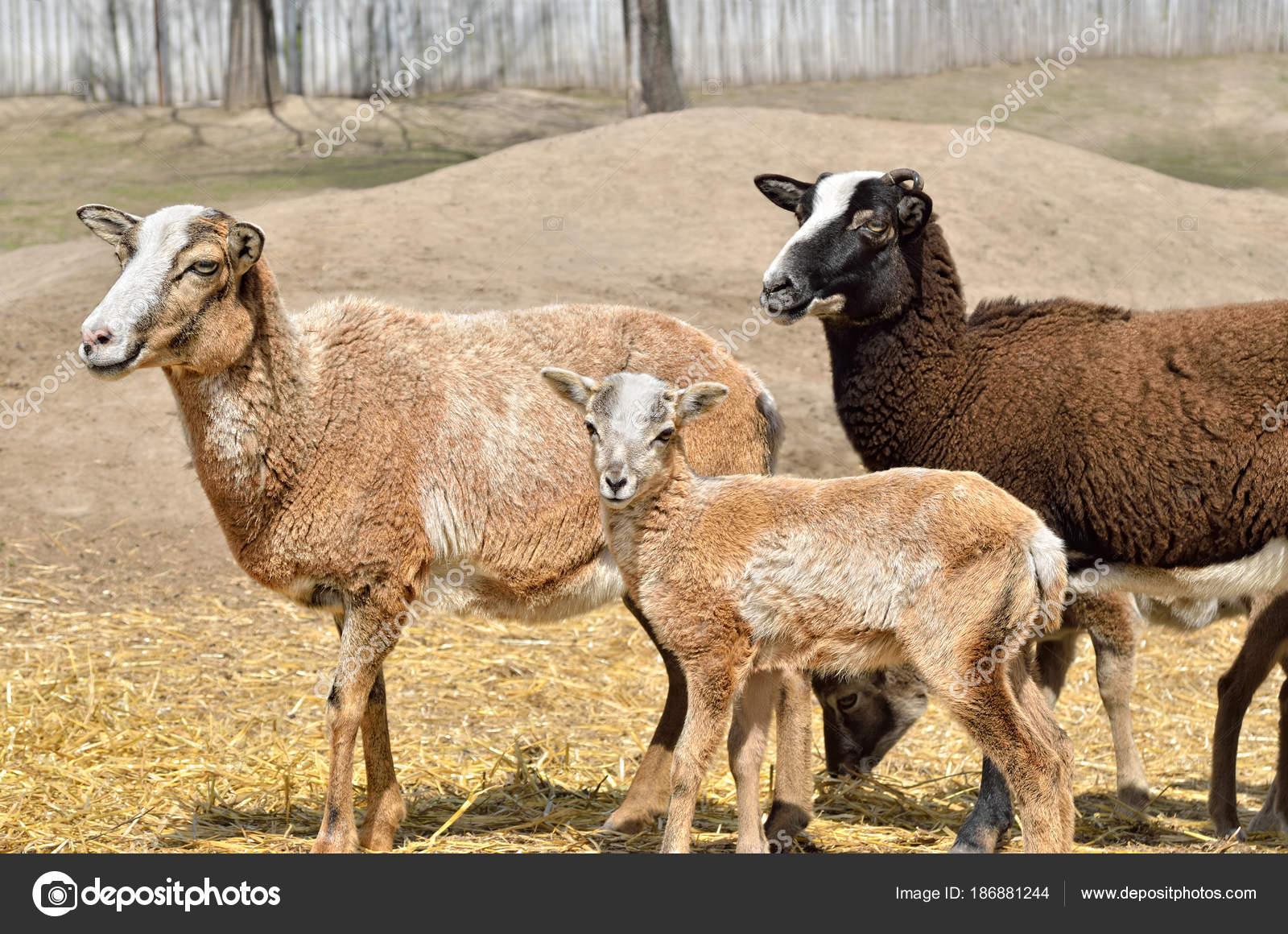 Vadon Élő Felnőtt Női Muflon Lány Bárány — Stock Fotó ... bbd4ea81d7