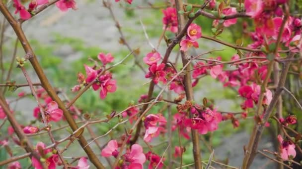 Bush Of Japanese Quince. Orange flowers of japanese quince on a sunny windy day