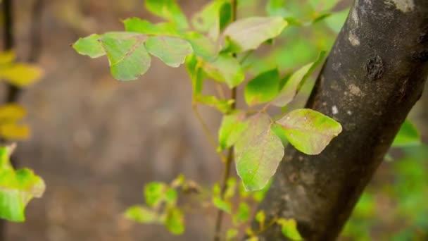 Žlutozelené listy na větvích stromů. Podzim. Pohyb fotoaparátu kolem listí
