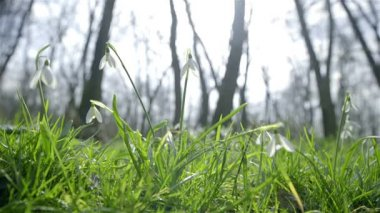Snowdrops in green glade