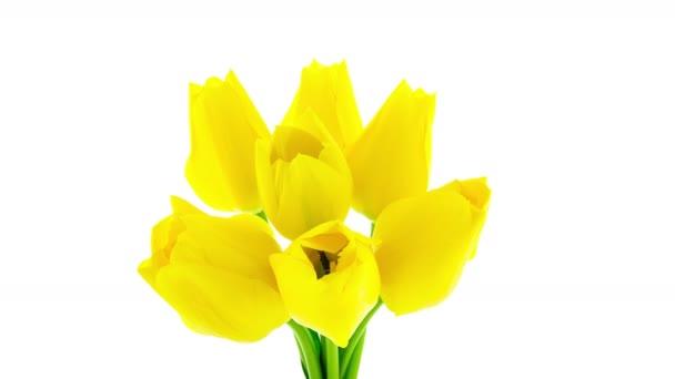 Timelapse banda sedmi žlutý Tulipán květy na bílém pozadí