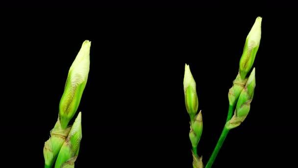 Timelapse dvou kosatec žlutý květ, kvetoucí na černém pozadí s detailní zobrazení