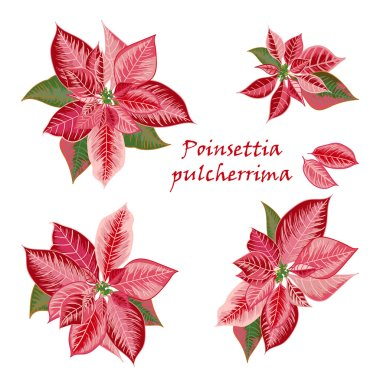 Set of Poinsettia flowers in pink, red color