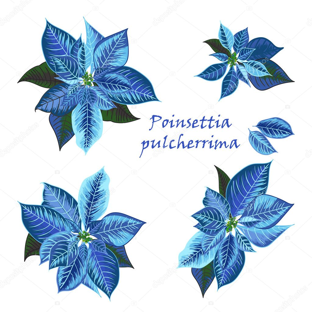 Set Of Poinsettia Flowers In Blue Color Stock Vector Zzayko