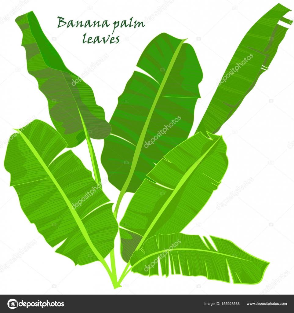 Feuilles De Bananier De Palmiers Tropicaux De Branche Dessin