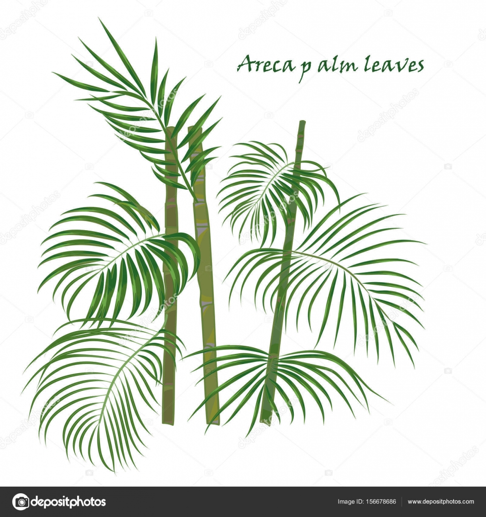 Branch tropical palm areca leaves. realistic drawing in flat color ...