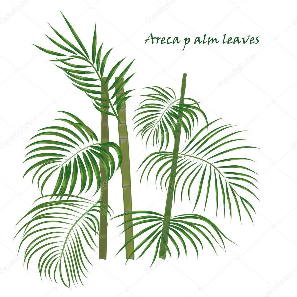 Direction Generale De La Tropicale Palmier D Arec Feuilles Dessin
