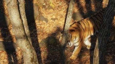 Great amur or ussuri tiger is walking in Primorsky Safari park, Russia
