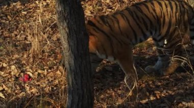 Amur tiger takes piece of fresh meat in leaves in Primorsky Safari park, Russia