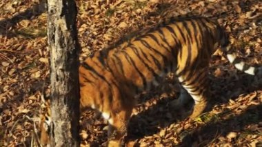 Ussuri tiger looks for something in dried leaves in Primorsky Safari park,Russia