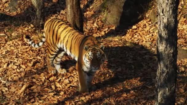 Szép amur tigris valaki bámul. Tengermelléki Safari park, Oroszország