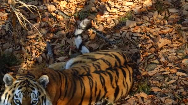 Krásný amur nebo ussuri tygr leží v Primorsky Safari park, Rusko