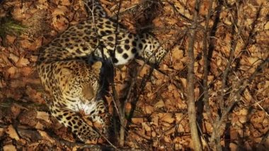 Amazing amur leopard is lying on dried leaves in Primorsky Safari Park, Russia