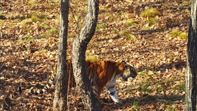 Amur tiger is walking around in autumn Primorsky Safari Park, Russia