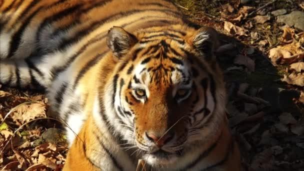 Szép amur tigris fekszik, és valaki bámul. Tengermelléki Safari park, Oroszország