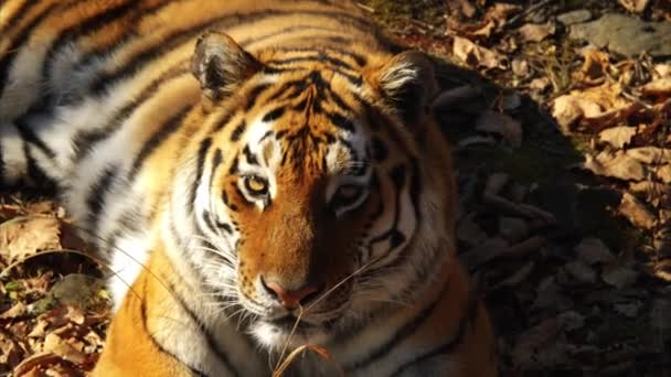 Zárja be a portré, amur tigris, szárított levelek feküdt. Tengermelléki Safari park, Oroszország