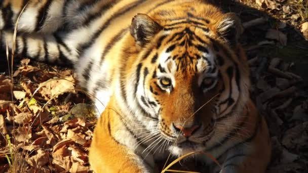 Krásný amur tygr leží a zírá na někoho. Primorsky Safari park, Rusko
