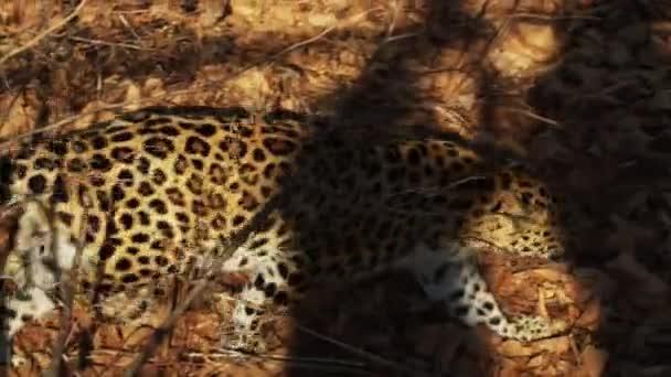 Amazing but rare amur leopard is walking in Primorsky Safari Park, Russia