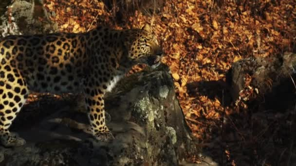 Beautiful amur leopard looks at someone and licks its lips. Safari Park, Russia