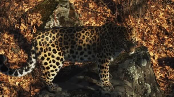 Amazing but rare amur leopard in Primorsky Safari Park, Russia
