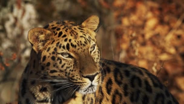 Close portrait of rare amur leopard enjoying sun in Primorsky Safari Park,Russia