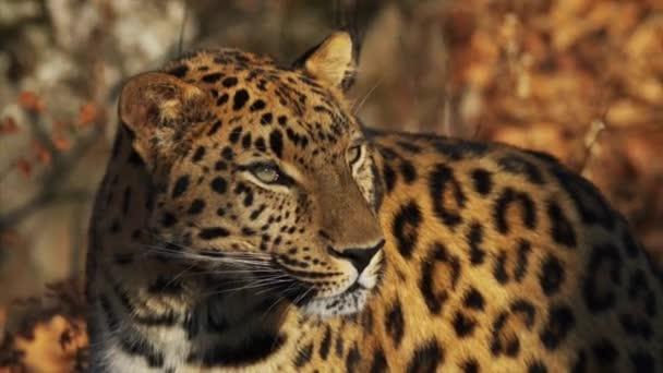Portrait of beautiful rare amur leopard in Primorsky Safari Park, Russia