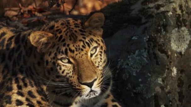 Portrait of beautiful rare amur leopard in Primorsky Safari Park, Russia