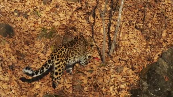 Beautiful rare amur leopard is eating a piece of meat in Safari Park. Russia