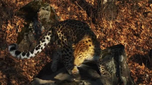 Kecses ritka amur leopárd ősszel tengermelléki Safari Park, Oroszország