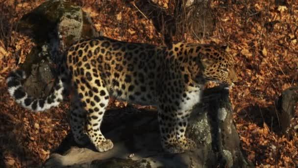 Slow motion of jumping rare amur leopard in autumn Primorsky Safari Park, Russia