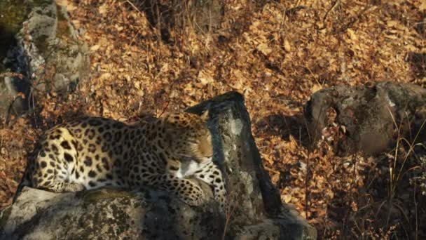 Rare amur leopard is looking for something in Primorsky Safari Park, Russia