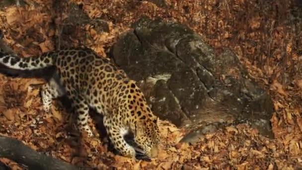 Graceful rare amur leopard in autumn Primorsky Safari Park, Russia