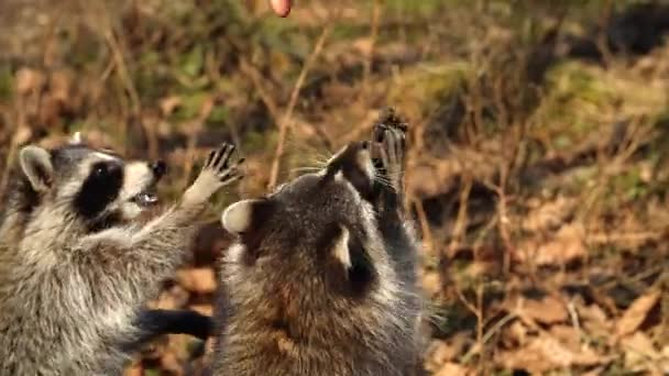 Cute racoons take nuts from zookeeper in Primorsky Safari Park, Russia