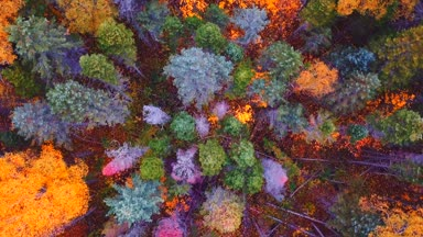Close top aerial view of the autumn trees in Sikhote-Alin Nature Reserve. Russia
