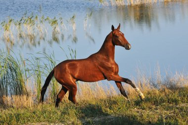 Happy Akhal-Teke horse runs in gallop across waterline in the hot summer day. Horizontal,side view.
