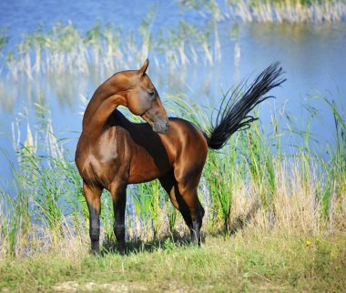 Bay Akhal Teke stallion stands near water and looks backwards while keeping insects away with the tail. Vertical, sideways.